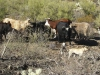 amber-middaughs-catahoulas-and-black-mouth-curs-from-arizona-working-on-cattle