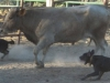 amber-middaughs-catahoulas-working-on-cattle