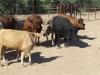 ambers-catahoulas-from-arizona